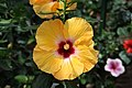 Yellow and Red Hibiscus.jpg