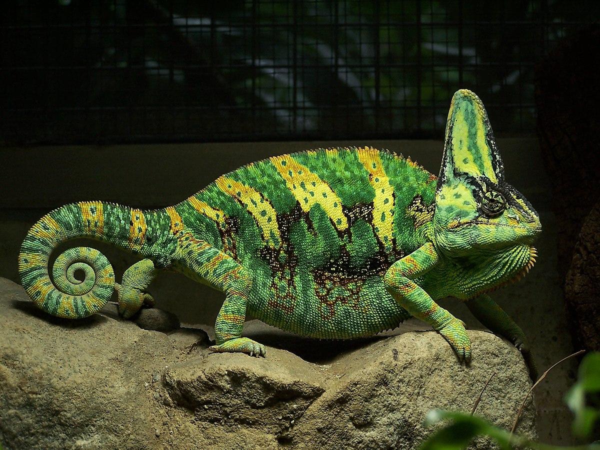Хамелеон описание, виды, чем питается, где обитает, фото 20