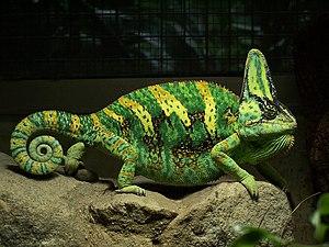 Veiled chameleon - Image: Yemen Chameleon