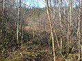 Young birch infilling a cleared plantation - geograph.org.uk - 1172652.jpg