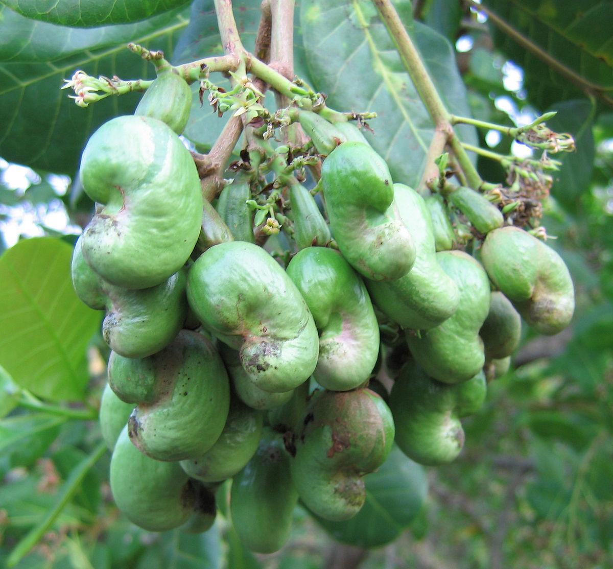 Noix de cajou wikip dia - Comment pousse les kiwi ...