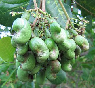 Cashew - Image: Young cashew nuts