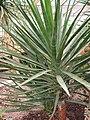 Yucca aloifolia Jukka aloesowata 2009-07-20 03.jpg