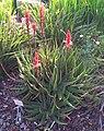 Z Aloe succotrina - Kirstenbosch gardens 8.jpg