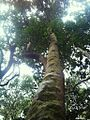 Z Assegai tree trunk - Curtisia - Kirstenbosch indigenous forest 3.JPG