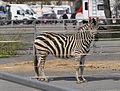 Zebra-Zirkus-Charles-Knie-03.jpg