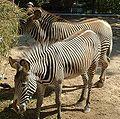 Zebra de Grevy.JPG