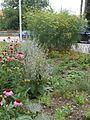 Zeliščni vrt Zalec 2.jpg