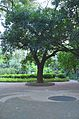 Zhuhai-Seaside park-Acacia confusa. Merr..jpg