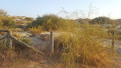 Zona Dunar con vegetacion en las marismas de Isla Cristina.jpg