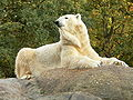 Zoo Berlin Eisbär.jpg