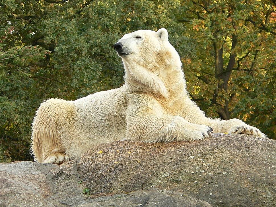 Zoo Berlin Eisbär