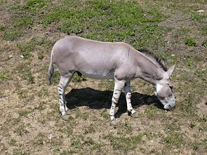 Afrikanischer Esel (Equus asinus)