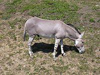 200px-Zoo_UL,_Somali_wild_ass.jpg