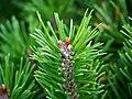 "Zwergkiefer, lat- Pinus mugo ""Mops"" (04).jpg"