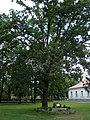 Zwierzyniec - dąb Zdzisław - pomnik przyrody (04) - DSC04139.jpg