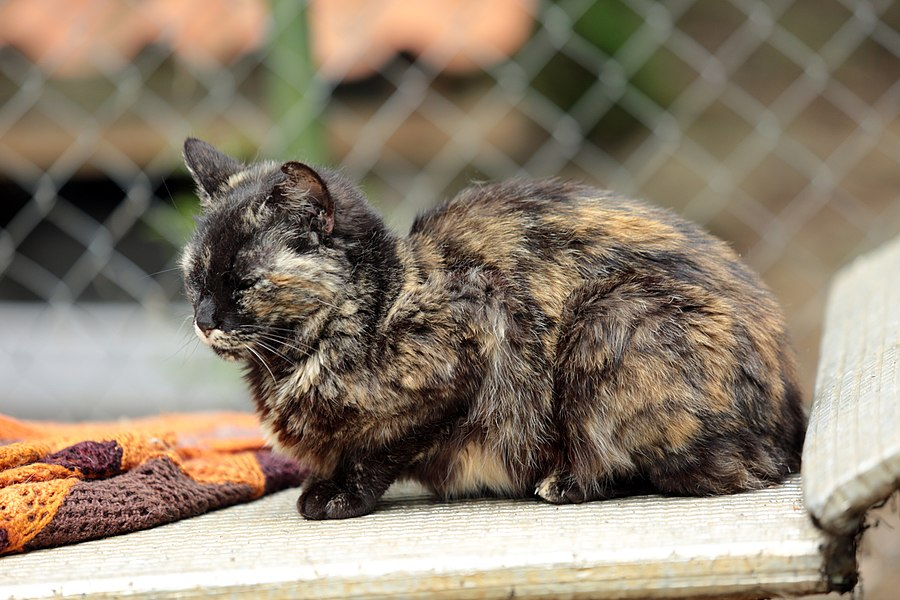 """One of the """"tortoiseshell"""" cats of the Perle Association shelter."""