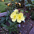"""Oenothera"" Evening primrose at Staplefield, West Sussex, England 01.JPG"