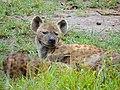 """Scarface"" Spotted Hyaena (Crocuta crocuta) (12055454976).jpg"