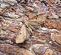 (1830) Wormwood Pug (Eupithecia absinthiata) (35363872470).jpg