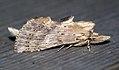 (2011) Pale Prominent (Pterostoma palpina) (4565196858).jpg