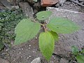 (Arya) muntingia calabura small tree (grow from seed).jpg