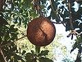 (Couroupita guianensis) at Kakinada Gandhinagar park 05.JPG
