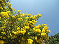 (Tecoma stans) yellow bell flowers at Tenneti Park 01.JPG