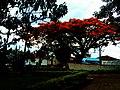 Árvore em frente ao Fórum de BOTELHOS.jpg