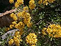 Ροδόδενδρο της Μυτιλήνης.jpg