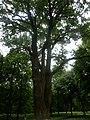 Багатовіковий дуб «Три брати», Прилуцький район, сел. Линовиця 74-241-5027 02.jpg