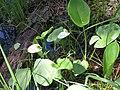 Белокрыльник болотный 2.jpg