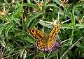 Буроглазка Мегера (Краеглазка мегера) - Wall Brown - Lasiommata megera - Mauerfuchs (30767411755).jpg