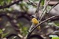 Самец обыкновенной горихвостки.jpg