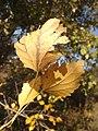 Сива топола - листа (есен).jpg