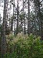 Сосновий ліс біля с. Куйбишево, Бахчисарайський р-н.jpg
