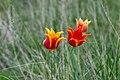Тюльпаны в оренбургских степях 7.jpg