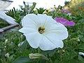 Флора и фауна огородно-полевая - panoramio (9).jpg