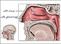 الجهاز التنفسي - أعضاء التنفس لدى الإنسان-الأنف.jpg