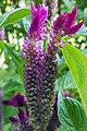 گل تاج خروس-Unidentified Amaranthus in iran 14.jpg