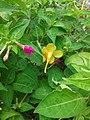 அந்திமந்தாரை 2 (Mirabilis jalapa- Multi colours).jpg