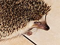 刺蝟 Hedgehog - panoramio (1).jpg