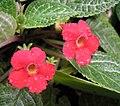 喜蔭花 Episcia cupreata -新加坡植物園 Singapore Botanic Gardens- (13218621235).jpg