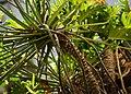 小天使 Philodendron selloum - panoramio.jpg