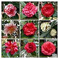山茶花 Camellia japonica cultivars 5 -深圳園博園茶花展 Shenzhen Camellia Show, China- (9252463131).jpg