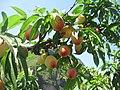 成熟了的水蜜桃 - panoramio.jpg