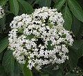 接骨木 Sambucus williamsii -北京植物園 Beijing Botanical Garden, China- (9229878190).jpg