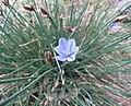 星捧月(無葉花) Aphyllanthes monspeliensis -比利時 Ghent University Botanical Garden, Belgium- (9198130831).jpg