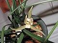 春蘭四星蝶 Cymbidium goeringii 'Four-Star Butterfly' -香港沙田國蘭展 Shatin Orchid Show, Hong Kong- (12304390464).jpg