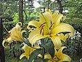 東方百合 Lilium 'Yelloween' -日本廣島縮景園 Hiroshima Shukkeien Garden, Japan- (35792778815).jpg